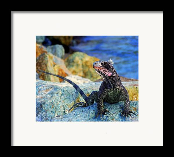 Iguana Framed Print featuring the photograph On The Prowl by Karen Wiles