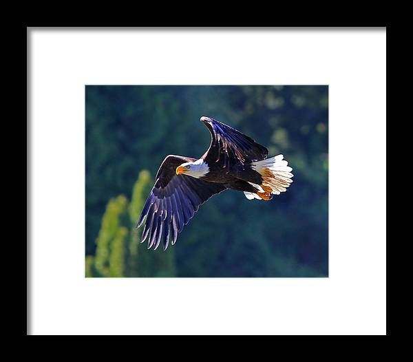 Bald Eagle Framed Print featuring the photograph On The Prowl. by Patrick Forster