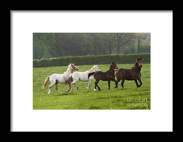 Horse Framed Print featuring the photograph One After One by Angel Ciesniarska