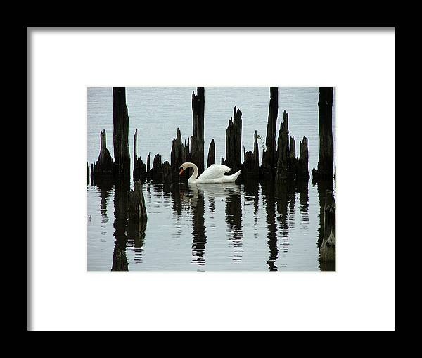 Pond Framed Print featuring the photograph One Swan by Dennis Pintoski