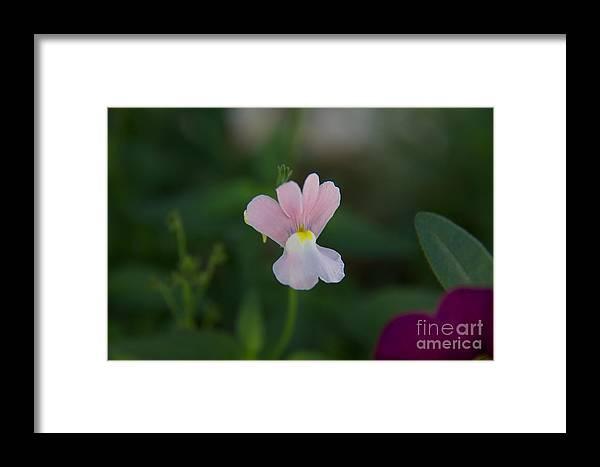 Nemesia Framed Print featuring the photograph Opal Innocence - Nemesia by June Hatleberg Photography