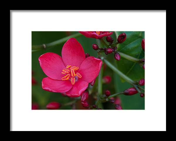 Flower Framed Print featuring the photograph Open and Closed by Paul Johnson