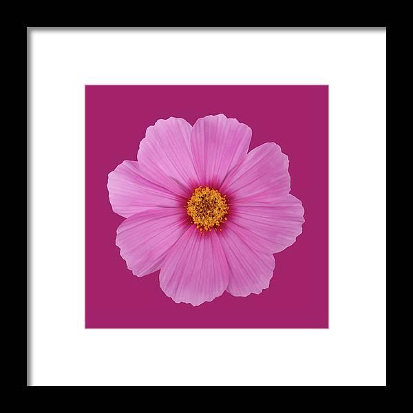 Open Pink Cosmos Flower On A Dark Pink Framed Print By Rosemary Calvert