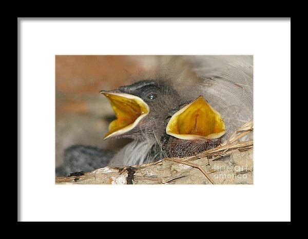 Barn Swallow Framed Print featuring the photograph Open Wide by Frank Townsley