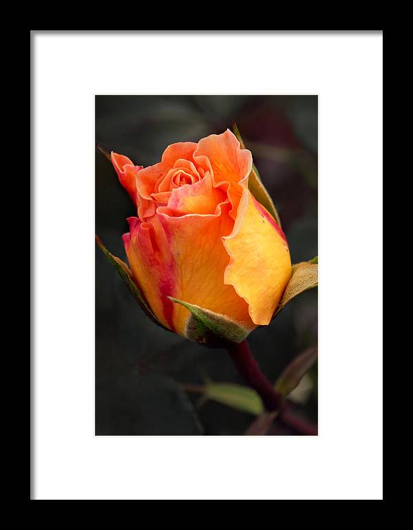 Jardin Botanico De Bogota Framed Print featuring the photograph Opening Rose by Theo