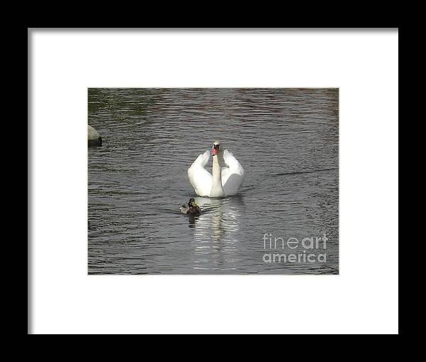Swans Framed Print featuring the photograph Opposites Attract by Deborah Smolinske