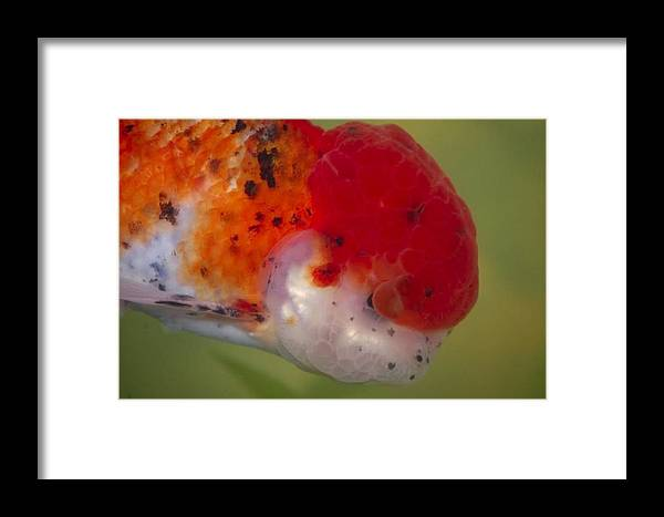 Animal Framed Print featuring the photograph Oranda by Scott Staley