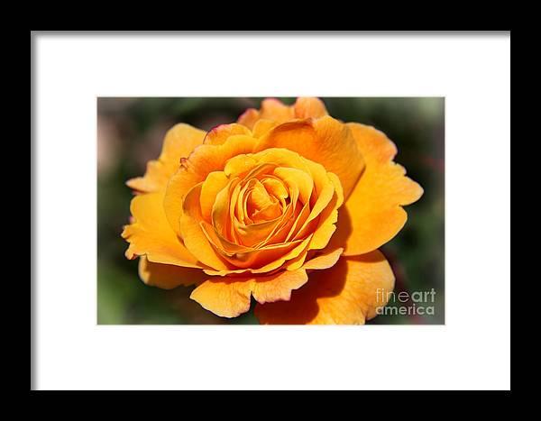 Orange Bloom Framed Print featuring the photograph Orange Bloom by Mariola Bitner