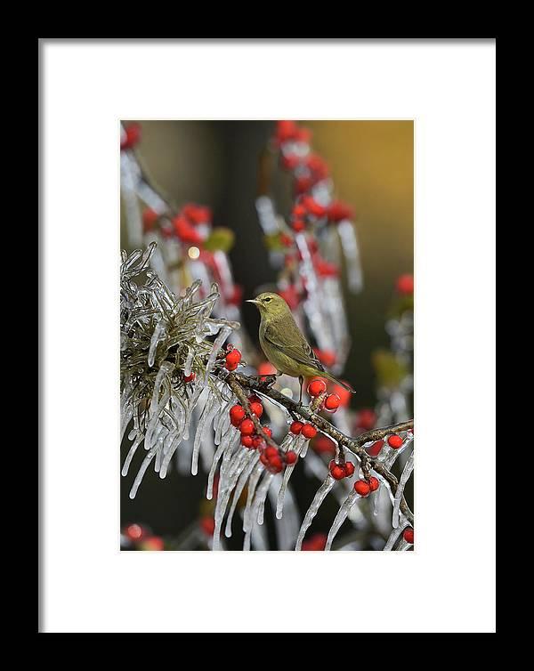 Adult Framed Print featuring the photograph Orange-crowned Warbler (vermivora Celata by Rolf Nussbaumer