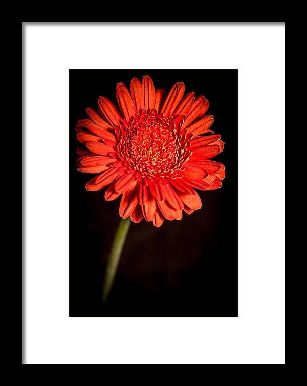 Flower Framed Print featuring the photograph Orange Gerbera by Eva Kondzialkiewicz