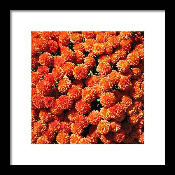 Duane Mccullough Framed Print featuring the photograph Orange Mums by Duane McCullough