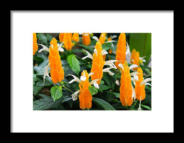 Flowers Framed Print featuring the photograph Orange Of Flowers by Elijah Gomez