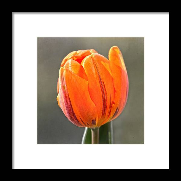 Tulip Framed Print featuring the photograph Orange Red Tulip Square by Sandi OReilly