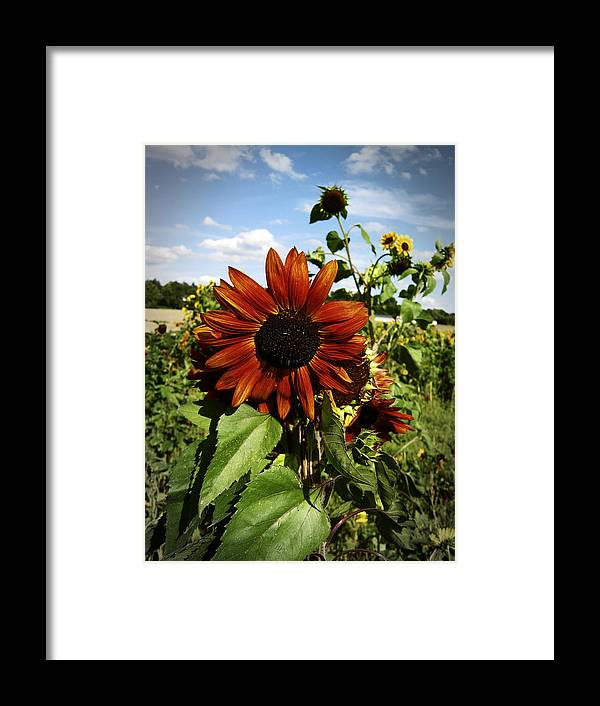 Flower Framed Print featuring the photograph Orange Sunflower by Nafets Nuarb