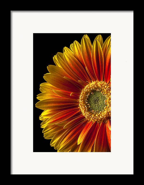 Gerbera Framed Print featuring the photograph Orange Yellow Mum Close Up by Garry Gay
