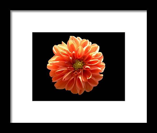 Dahlia Framed Print featuring the photograph Orangeman by Doug Norkum