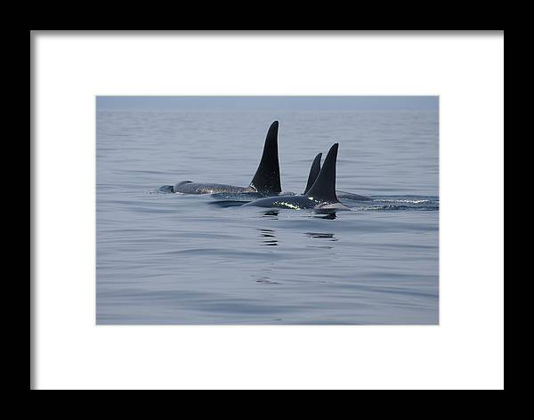 Orca Framed Print featuring the photograph Orca Family by Marilyn Wilson