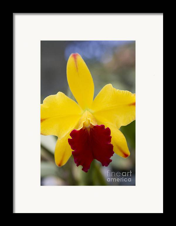 Aloha Framed Print featuring the photograph Orchid Beauty - Cattleya - Pot Little Toshie Mini Flares Mericlone Hawaii by Sharon Mau