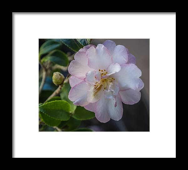 Flower Framed Print featuring the photograph Orchid Camellia by Jane Luxton