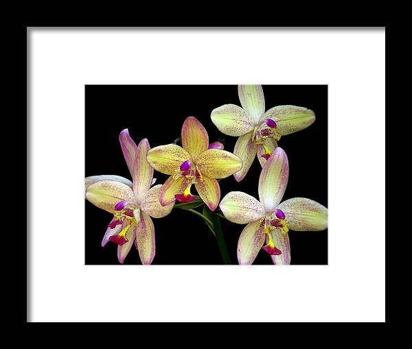 Orchid Framed Print featuring the photograph Orchid In Blossom by Zina Stromberg