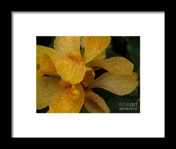 Yellow Framed Print featuring the photograph Canna Lily by Jacklyn Duryea Fraizer