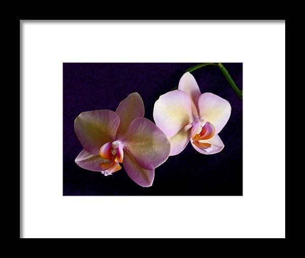 Orchid Framed Print featuring the photograph Orchid Light by Steve Karol