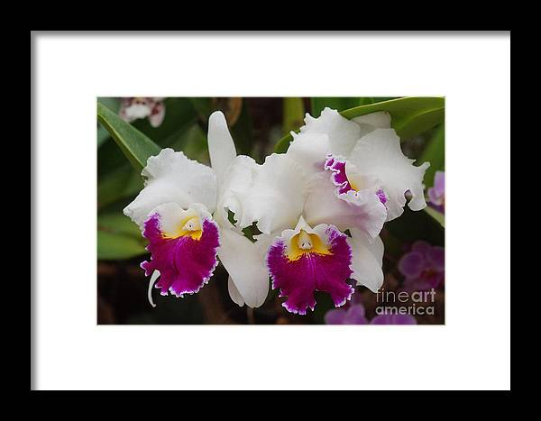 Nature Framed Print featuring the photograph Orchids 198 by Rudi Prott