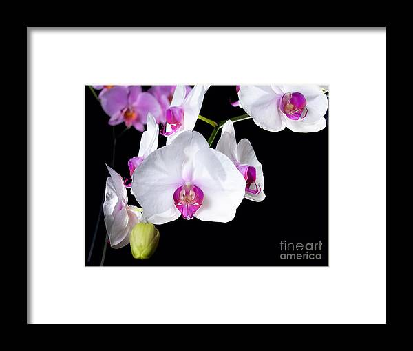 Nature Framed Print featuring the photograph Orchids by Sinisa Botas