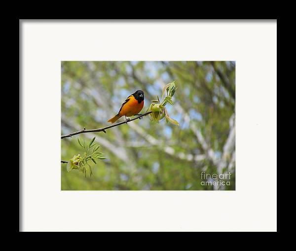 Baltimore Oriole Framed Print featuring the photograph Oriole by Randi Shenkman