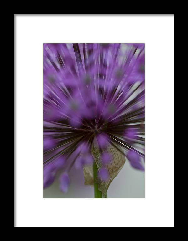 Framed Print featuring the photograph Ornamental Onion by Kristine Patti