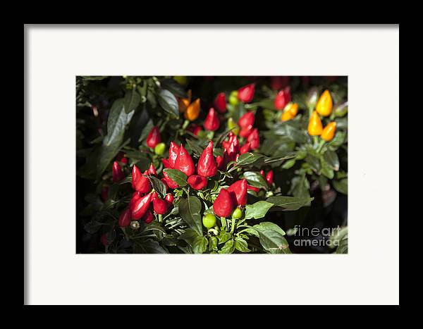 Agriculture Framed Print featuring the photograph Ornamental Peppers by Peter French