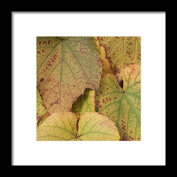 Coin Framed Print featuring the photograph Ornamental Vine by Kim Haddon Photography