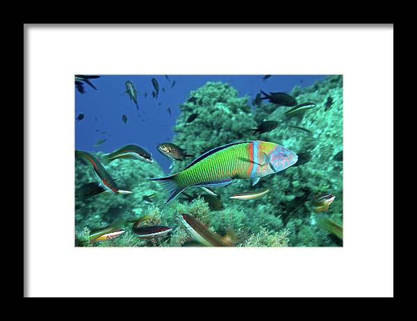 Underwater Framed Print featuring the photograph Ornate Wrasse by Gerard Soury