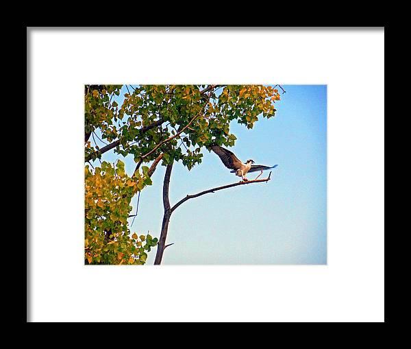 Osprey Framed Print featuring the digital art Osprey Dance by Joseph Wiegand