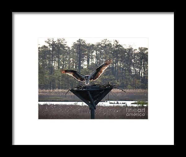 Osprey Framed Print featuring the photograph Osprey Landing by Rrrose Pix