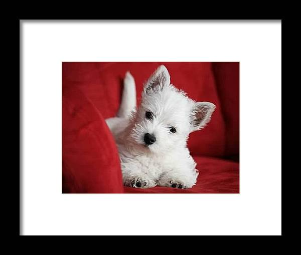 West Highland Terrier Puppy Framed Print featuring the digital art Our Baby Boy by Carrie OBrien Sibley