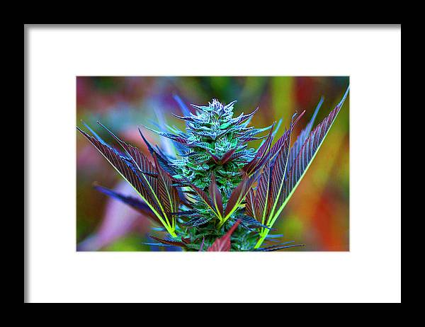 Agriculture Framed Print featuring the photograph Outdoor Cannabis Farming, Close by Stock Pot Images