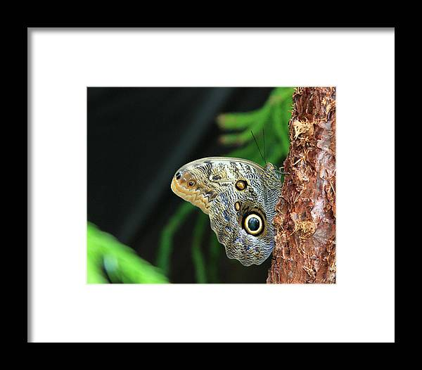 Butterfly Framed Print featuring the photograph Owl Butterfly by Kevin Devine