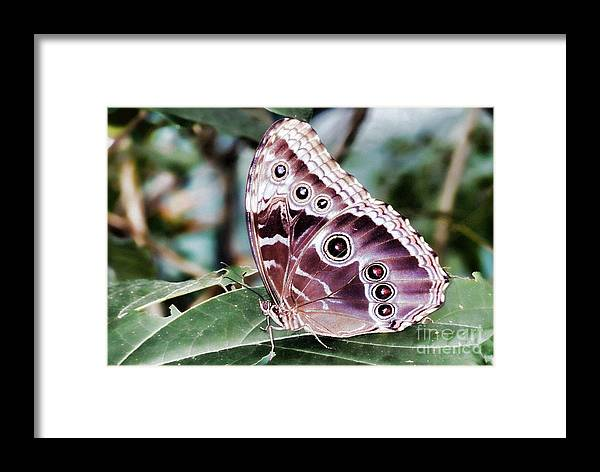 Insects Framed Print featuring the photograph Owl Butterfly by Polly Peacock