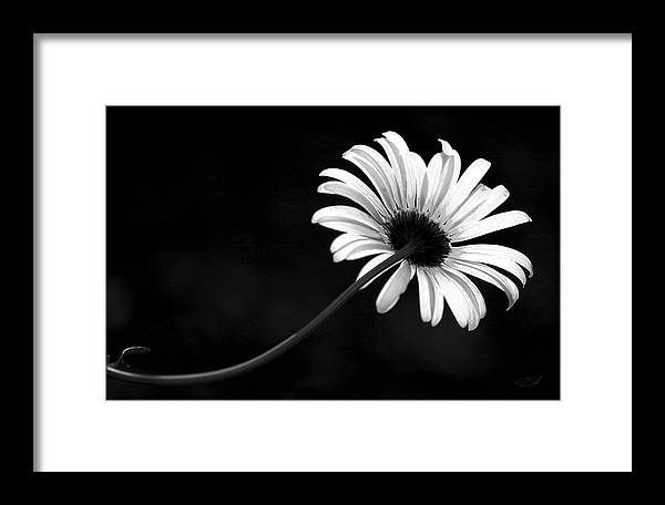 Oxeye Framed Print featuring the photograph Oxeye by Brent Flint