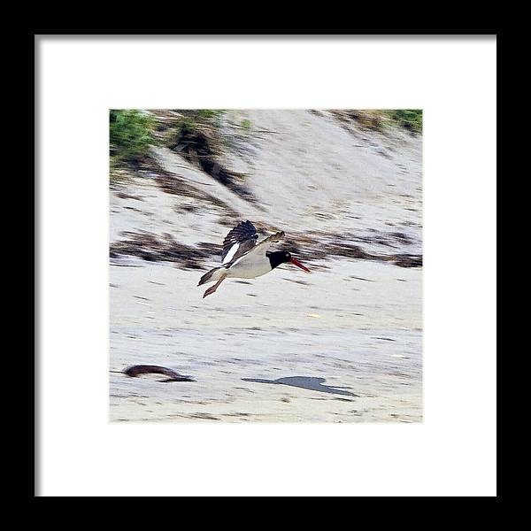 American Oystercatcher Framed Print featuring the photograph Oystercatcher 1 by Constantine Gregory