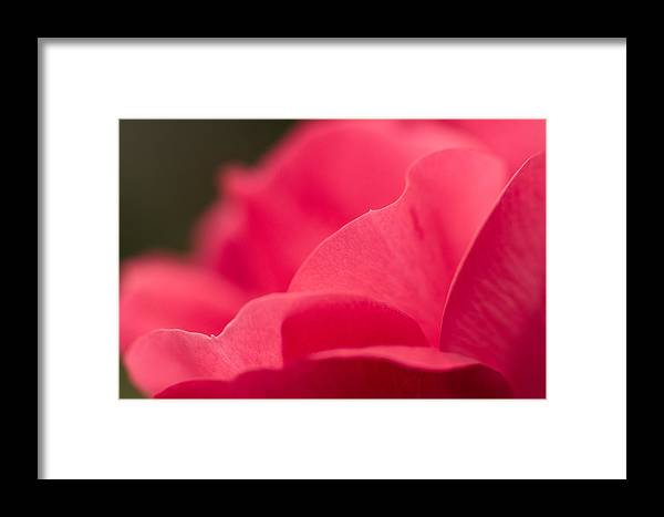 Rose Framed Print featuring the photograph P Is For Pink by Craig Szymanski