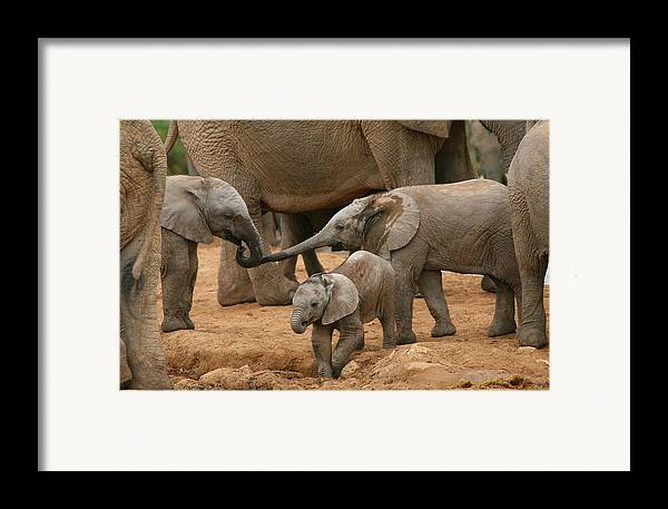 Elephant Framed Print featuring the photograph Pachyderm Pals by Bruce J Robinson