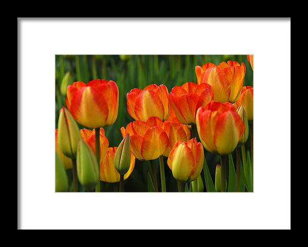 Tulip Framed Print featuring the photograph Pacific Northwest Tulips 1 by Keith Gondron