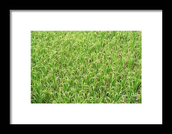 Paddy Field Framed Print featuring the photograph Paddy Field by Yew Kwang