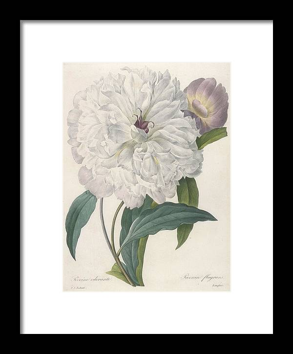 Redoute Framed Print featuring the painting Paeonia Flagrans Peony by Pierre Joseph Redoute