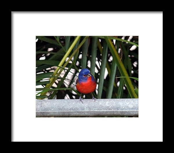Painted Bunting Bird Framed Print featuring the photograph Painted Bunting Bird by Dennis Sotolongo