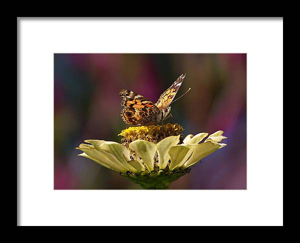 Butterfly Framed Print featuring the photograph Painted Lady by Leda Robertson