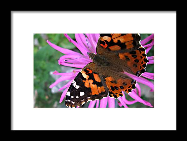 Painted Lady Butterfly Framed Print featuring the photograph Painted Lady by Monte Landis