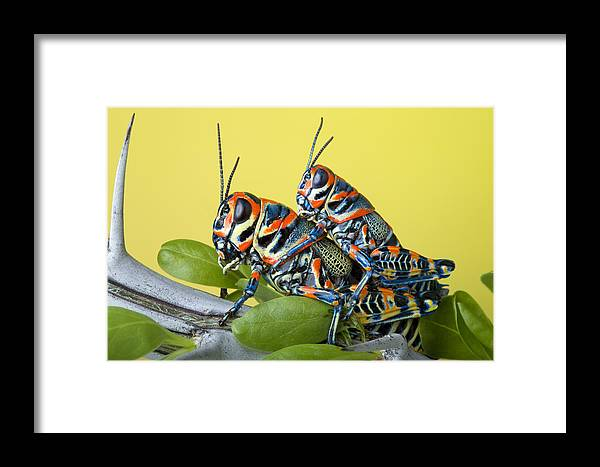 Bug Framed Print featuring the photograph Pair Of Rainbow Grasshoppers On Ocotillo by Robert Jensen